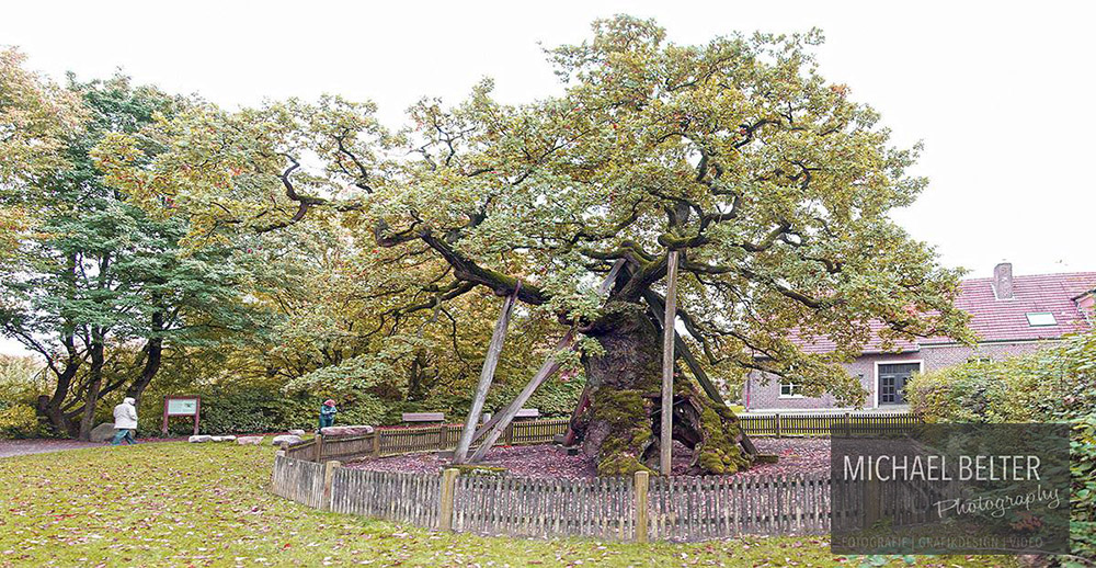 03 Femeiche Raesfeld-Erle ca 1200 Jahre 12m Umfang
