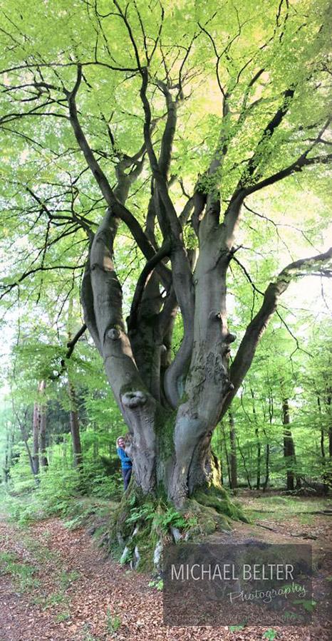 06 Rotbuche Dämmerwald ca 180 Jahre