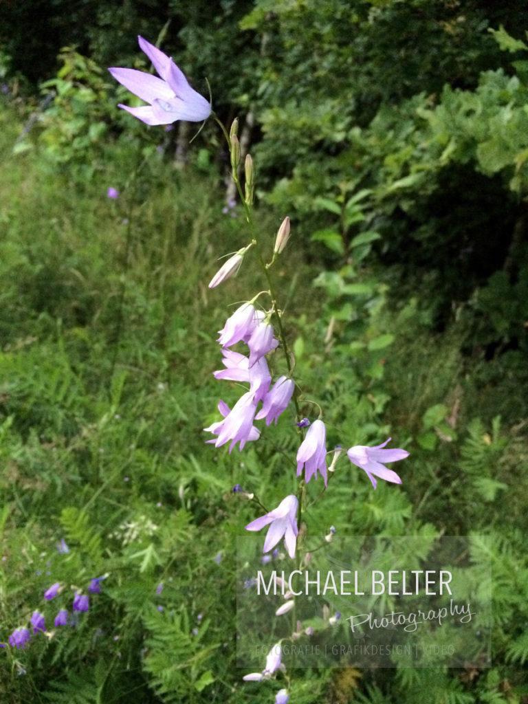 Wiesen-Glockenblume 02