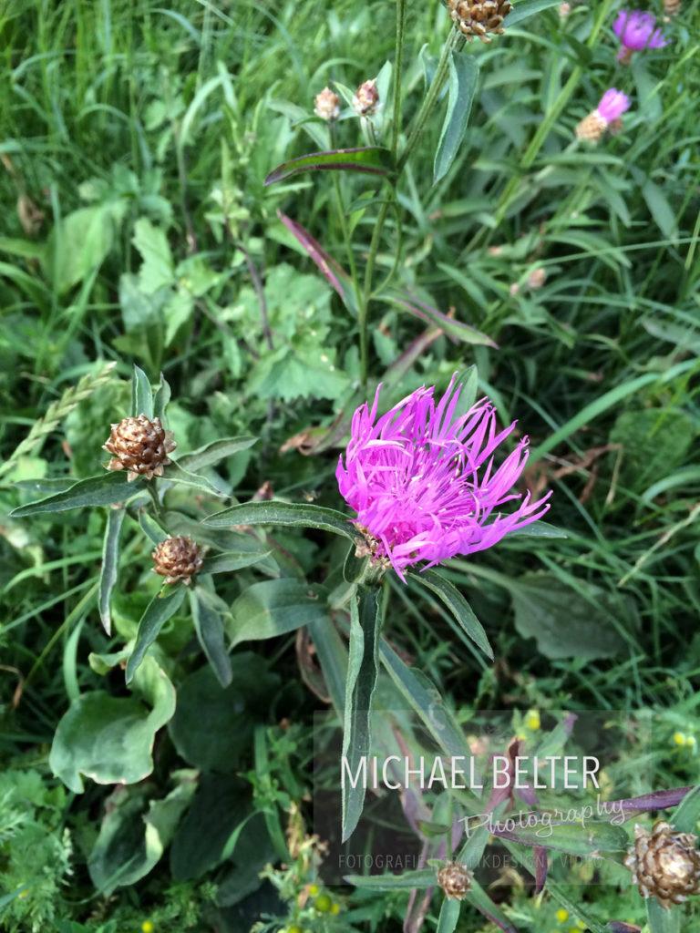 Wiesenflockenblume 01